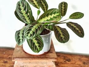 Planta del Mes por Noviembre:  Maranta Leuconeura 'Erythroneura