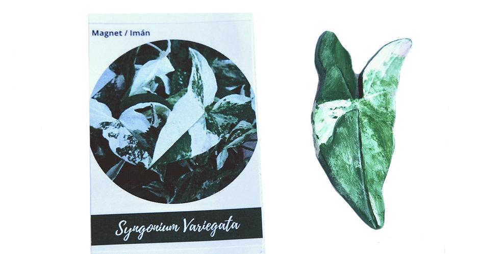 Magnet syngonium variegata