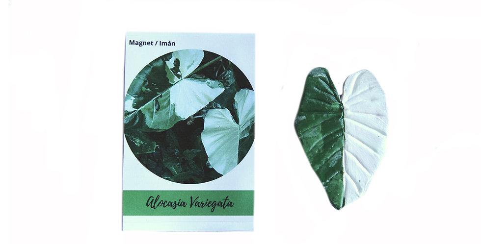 Magnet Alocasia Variegata
