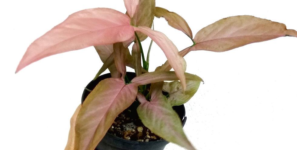 Syngonium Podophyllum 'Pink Blush'