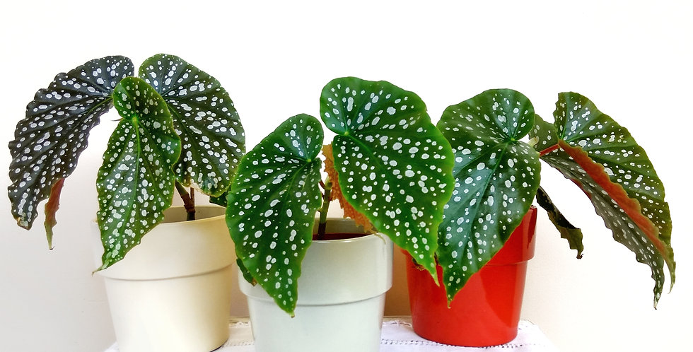 Angel Wing Begonia Maculata in red, beige or grey pot