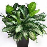 aglaonema-commutatum-silver-queen-plant.