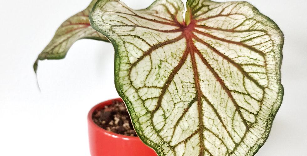 Caladium 'WhiteQueen' in red pot