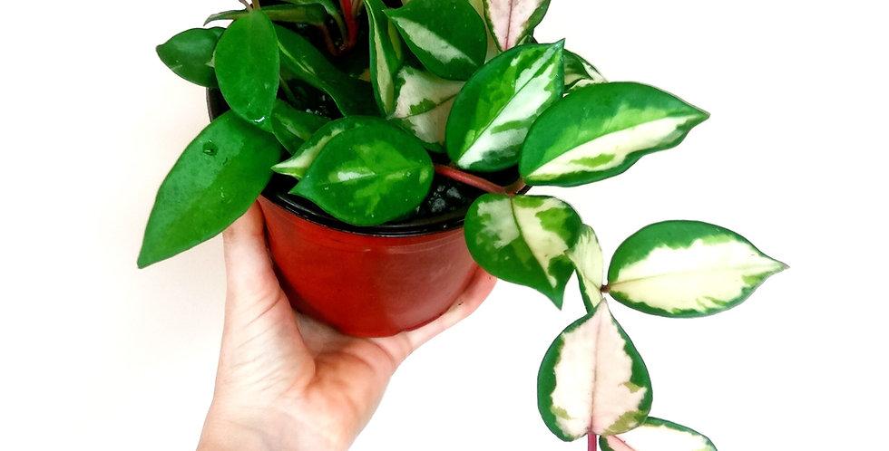 Hoya Carnosa Variegata Tricolor