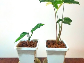 Say Goodbye To Soil: An Introduction To Semi-Hydro Growing.
