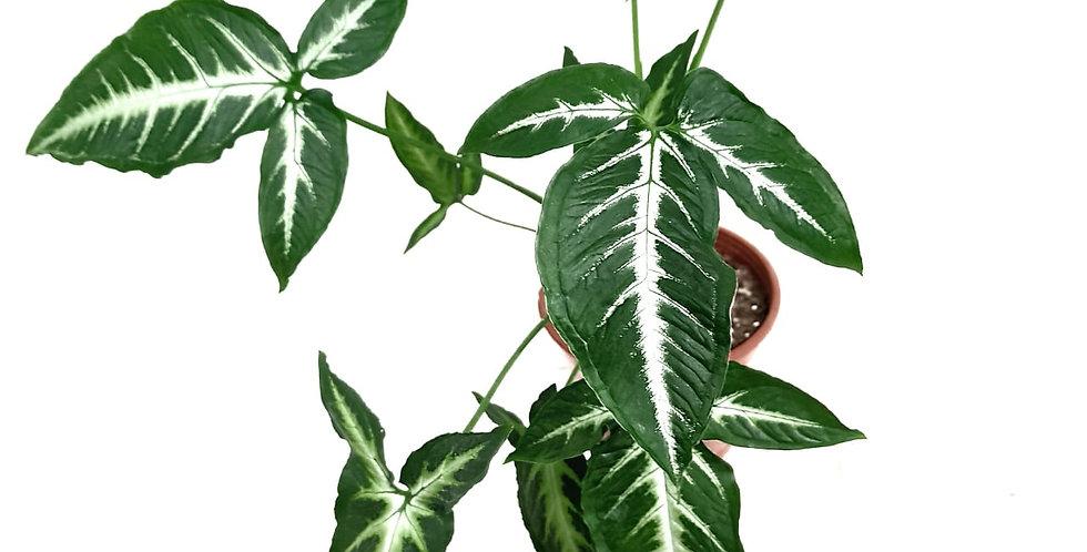 Syngonium 'Little Star' Angustatum - Little Green Star