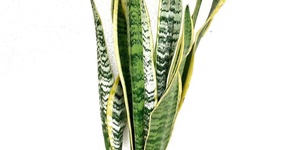 Sansevieria trifasciata 'Laurentii'