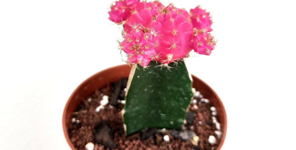 Pink Moon Cactus