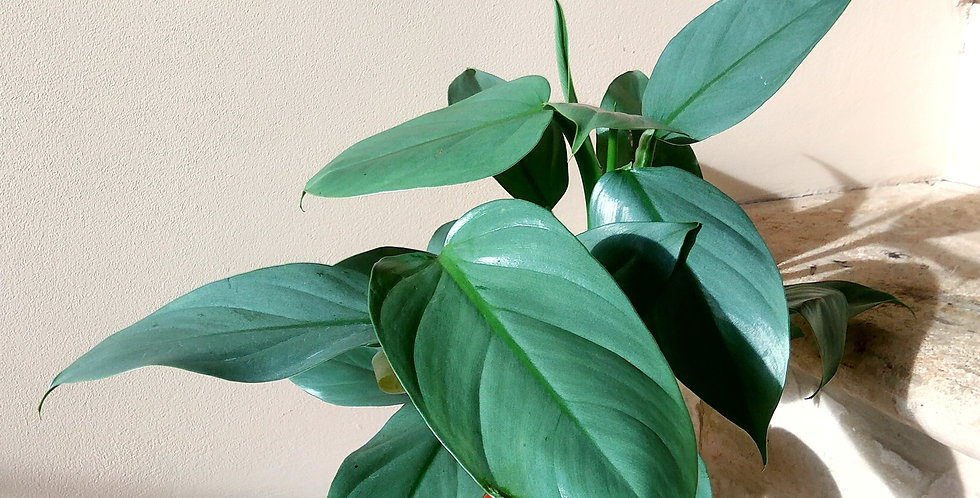 Philodendron Silver Metal