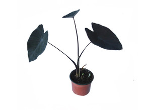 March's Plant of The Month:  Colocasia Black Magic