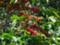 Coffee cherries on a coffee tree in boqu