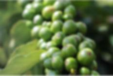 Green Coffee Cherries.JPG