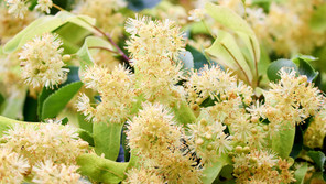 Benefits of Lime Flower