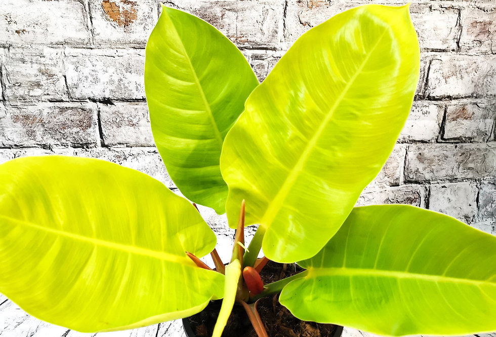 Philodendron Moonlight XXL