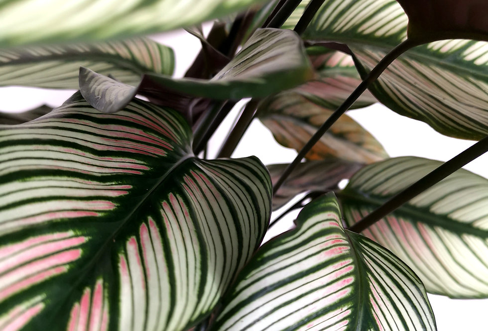 Calathea Whitestar - prayer plant