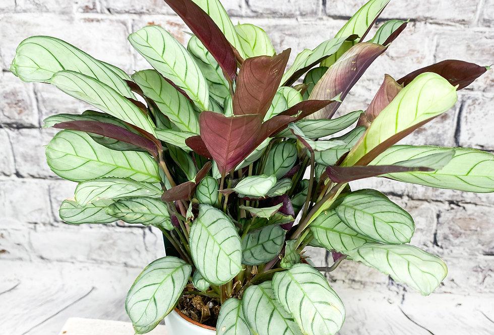 Amagris | Ctenanthe | Prayer Plant 12cm pot size