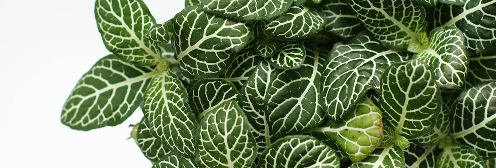 Fittonia | Nerve plant | Green