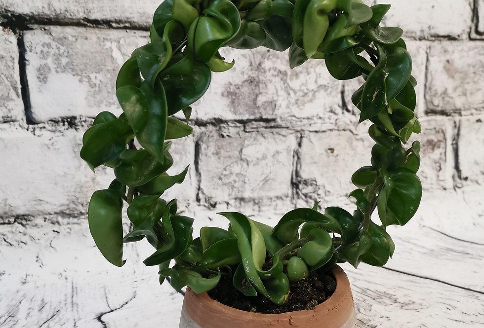 Hoya Compacta + Rustic Ceramic Pot