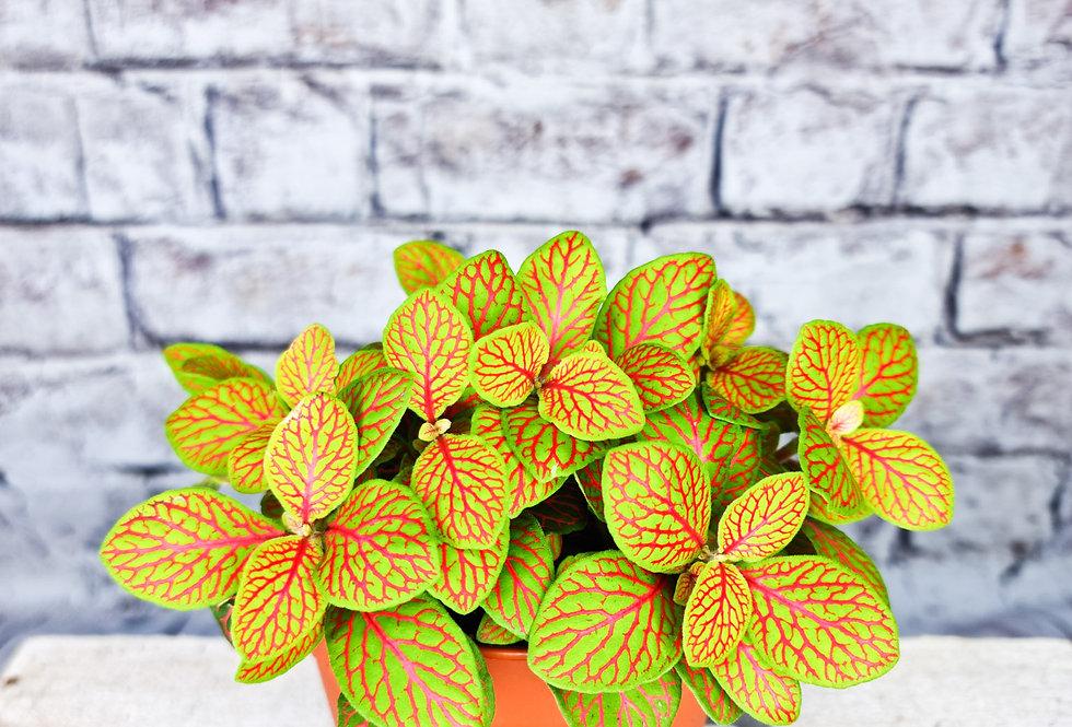 Fittonia | Nerve plant | Lemon/Pink