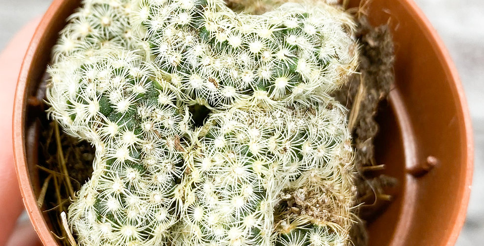 'Baby' Mammillaria Elongata Cristata Crested