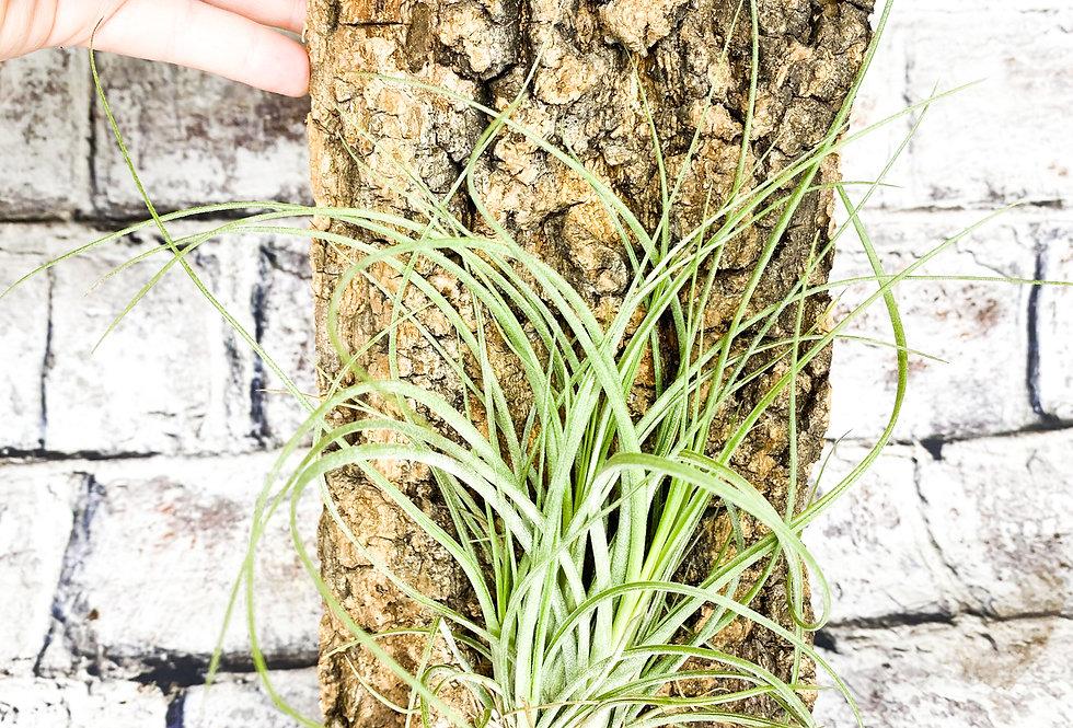 Tillandsia + corc air plant