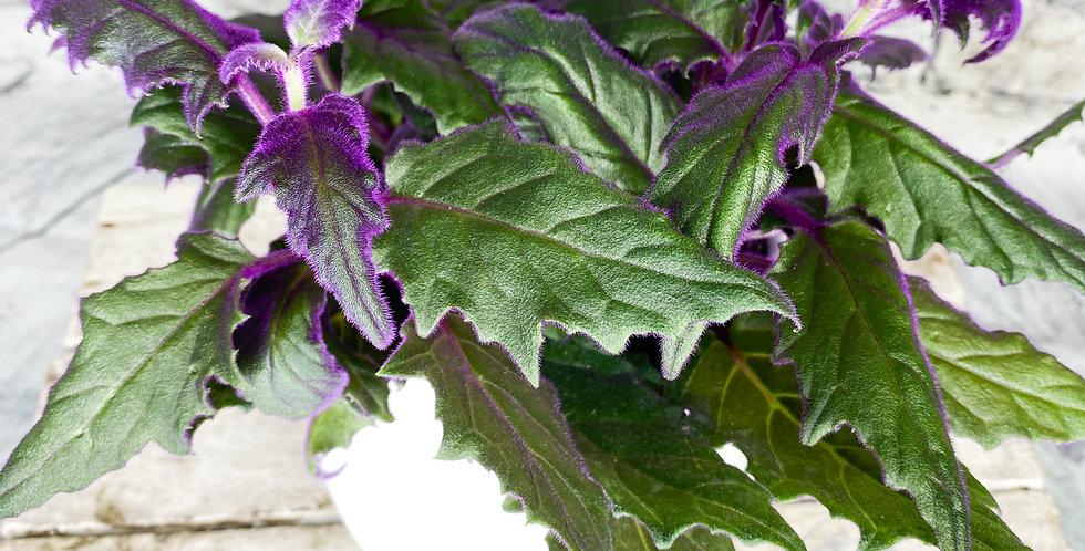 Gynura aurantiaca - Purple Passion