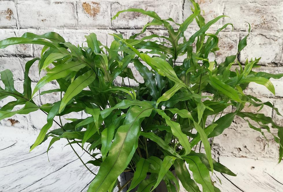 Microsorum Diversifolium Fern XXL
