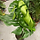 Thumbnail: Monstera mature leaf XL