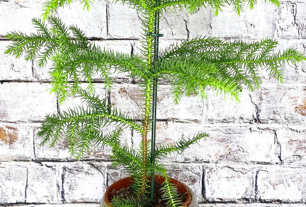 Arau Heterophyl - Norfolk Island Pine