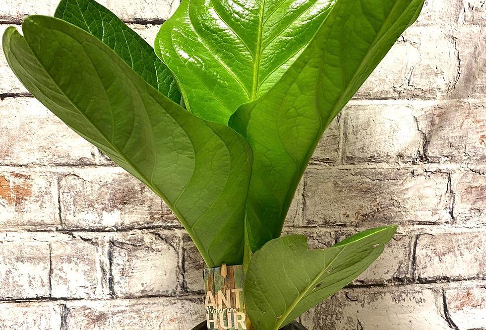 "Anthurium Jenmanii ""Lovely green"""