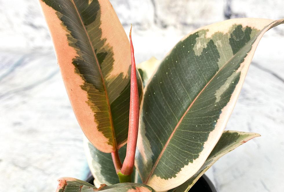Ficus el. Tineke 6cm pot