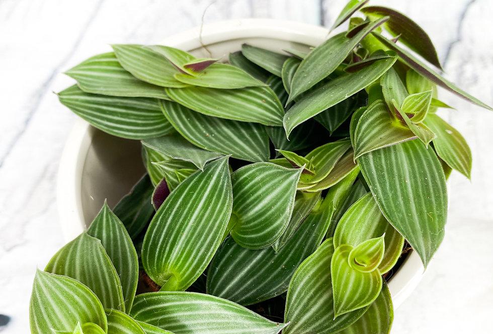 Tradescantia Albiflora Green/White