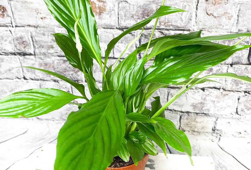 Spathiphyllum Peace Lily 12cm pot