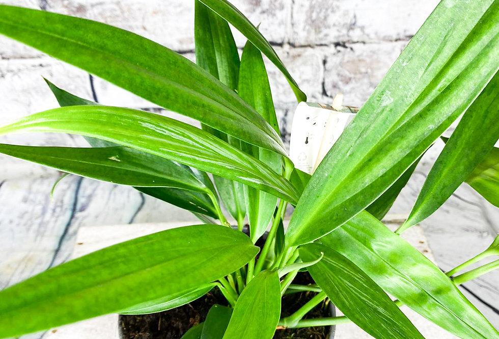 Epipremnum Amplissimum 15cm pot