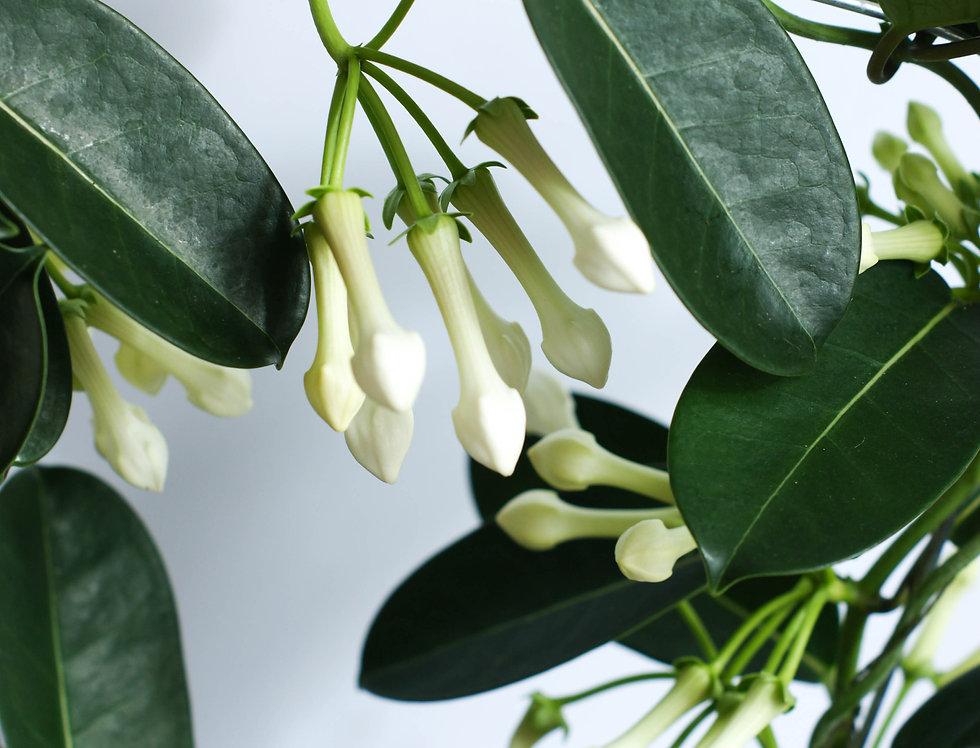 Stephanotis Floribunda |Madagascar Jasmine|Houseplant height approx. 45cm