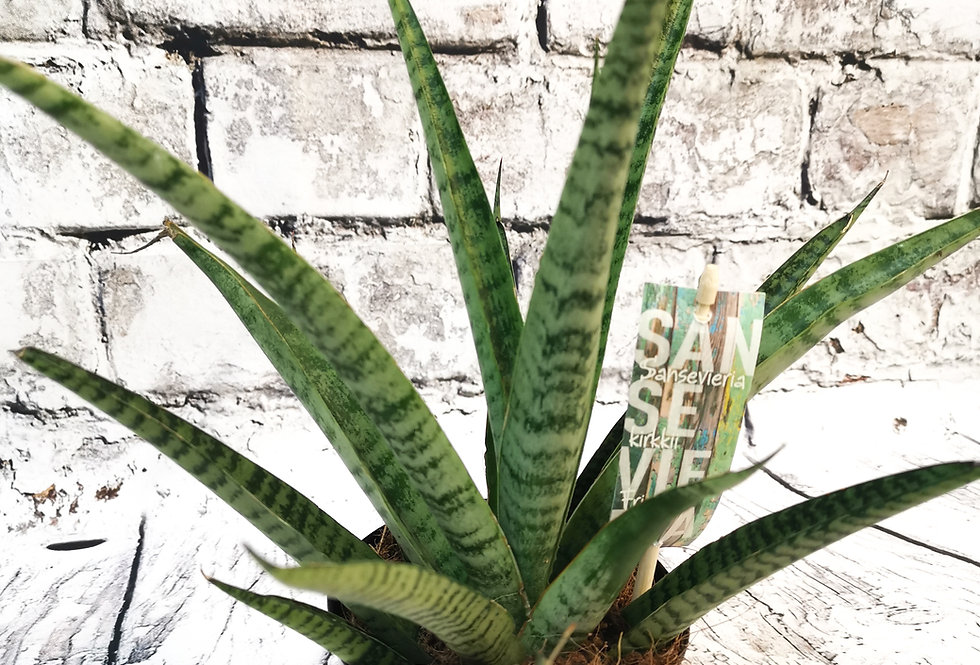 Sansevieria trif. Pineapple