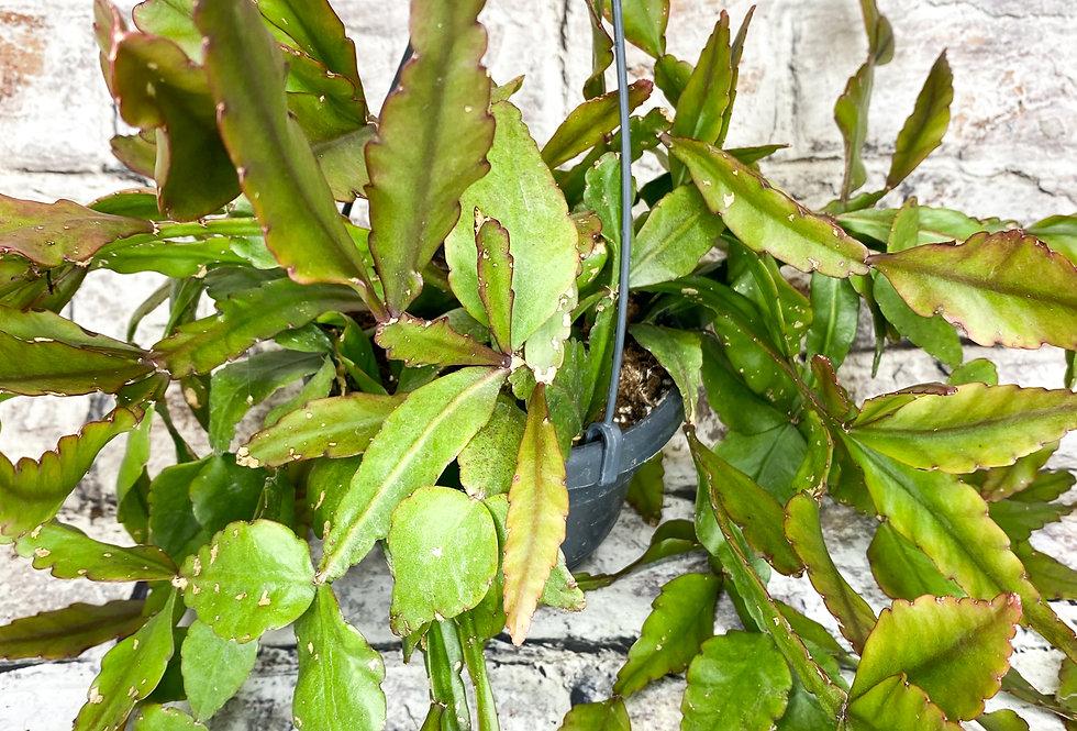 Rhipsalis Pachyptera  Hariota elliptica