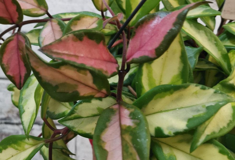 Hoya Carnosa Tricolour XXL