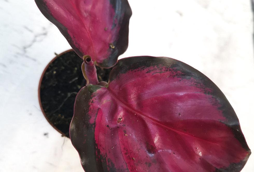 Calathea ROSEO-PICTA