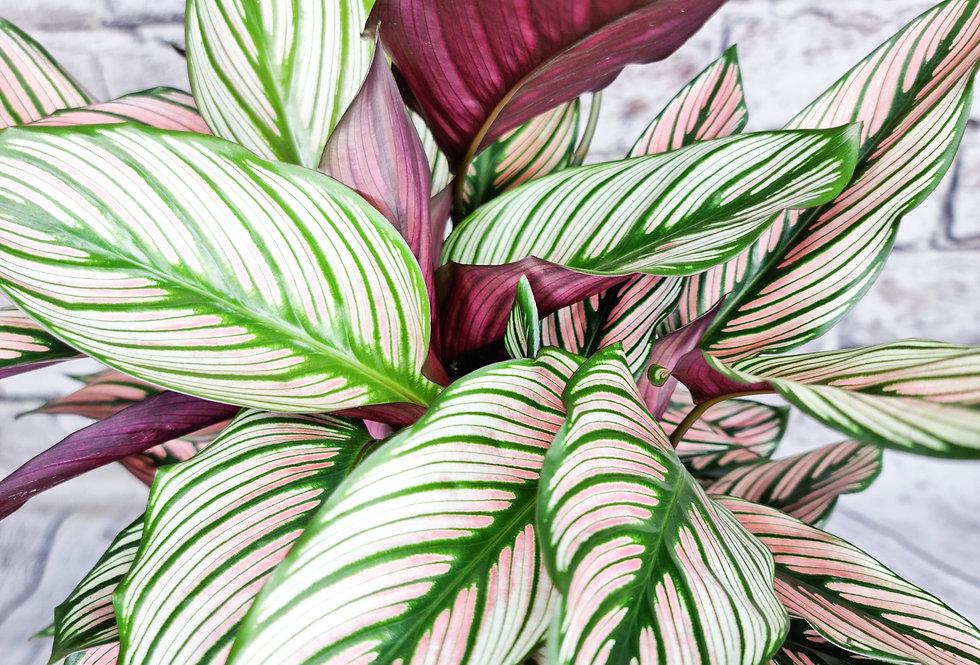 Calathea Whitestar - prayer plant