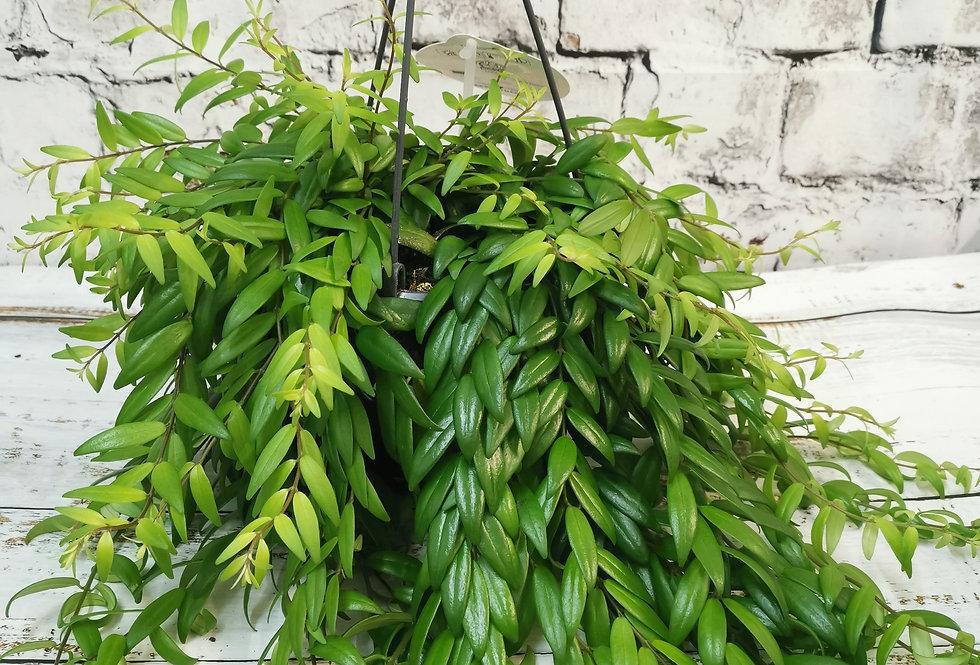 Aeschynanthus Japhrolepis lipstick plant