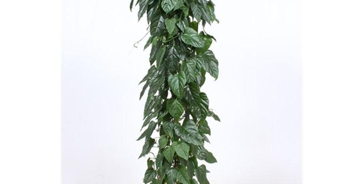 Cissus Nodosa 27Ø 150cm