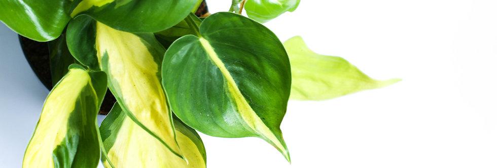 Philodendron Scandens Brasil