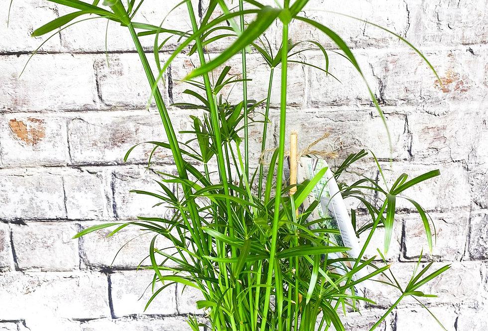 Cyperus alternifolius + Aquapot XL
