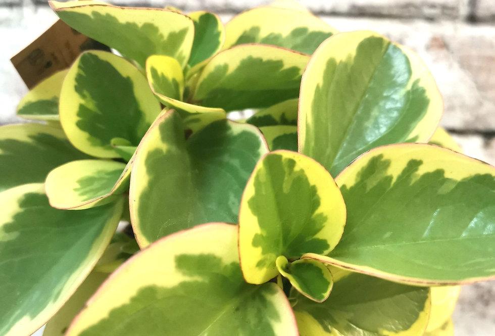 Peperomia Obtusifolia Bicolor
