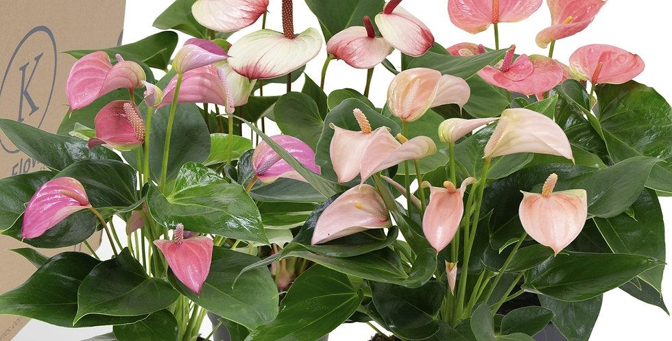 Anthurium Andr Pink 12cm pot size