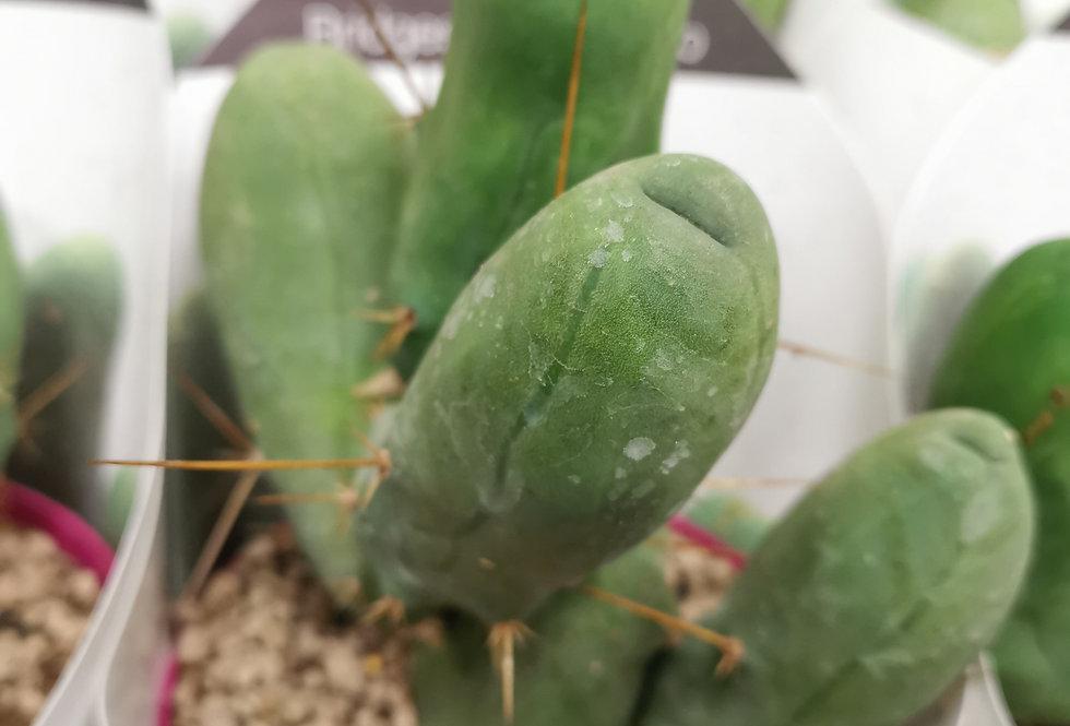 Copy of Trichocereus Bridgesii Mostruoso Penis Cati  XXL