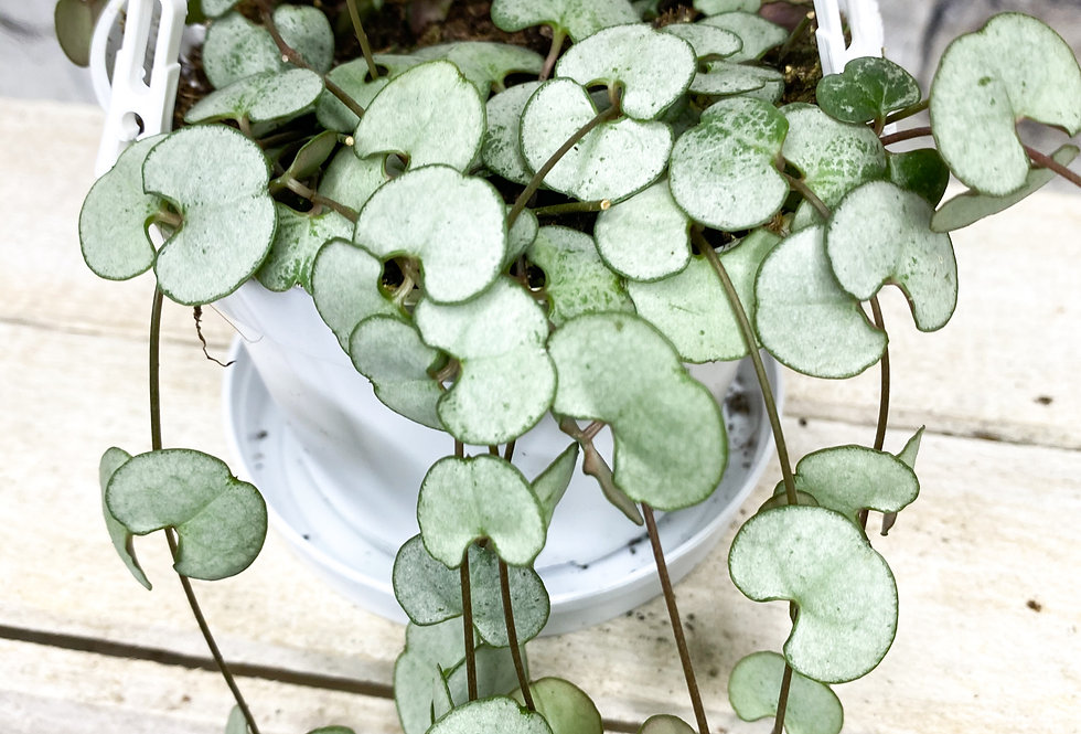 Ceropegia Silver Glory hanging