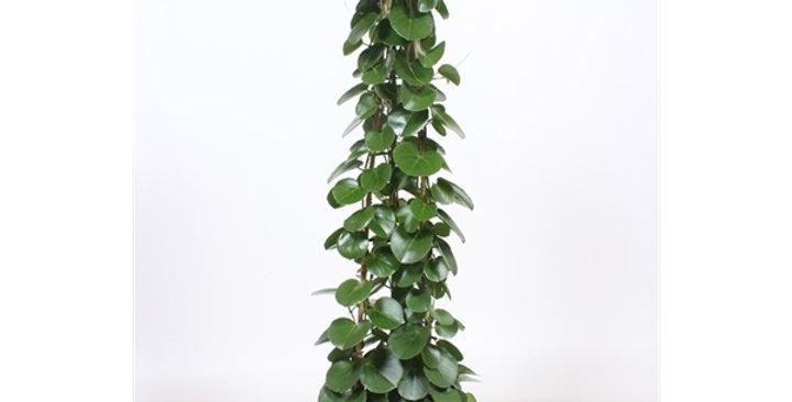 Cissus rotundifolia 27Ø 160cm