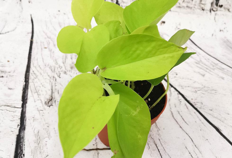 Neon Golden Pothos Epipremnum Devils Ivy Scindapsus